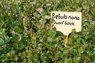 Dwarf Birch seedlings growing at Trees For Life's nursery on Dundreggan Estate, Scotland.