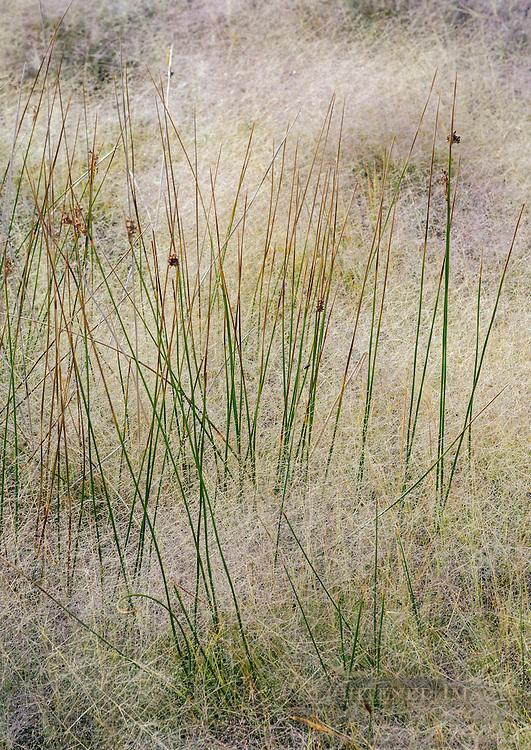 Alkali Muhly (Muhlenbergia asperifolia) Scratchgrass on the South Shore, Mono Lake, Mono County, Eastern Sierra, California