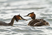 Australasian Crested Grebe passes a feather to its chick, Lake Hayes, New Zealand