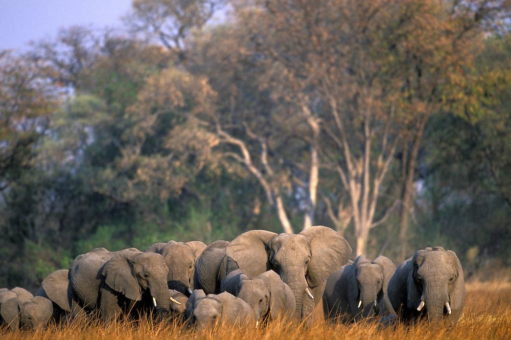 Botswana, Moremi Game Reserve, Elephant herd (Loxodonta africana) walks through tall grass in Xakanaxa at sunset