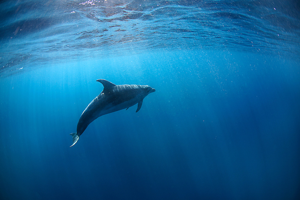 Underwater image of an offshore bottlenose dolphin (Tursiops truncatus) lit by bright sunlight at the surface, photographed in the open ocean off the east coast of South Africa