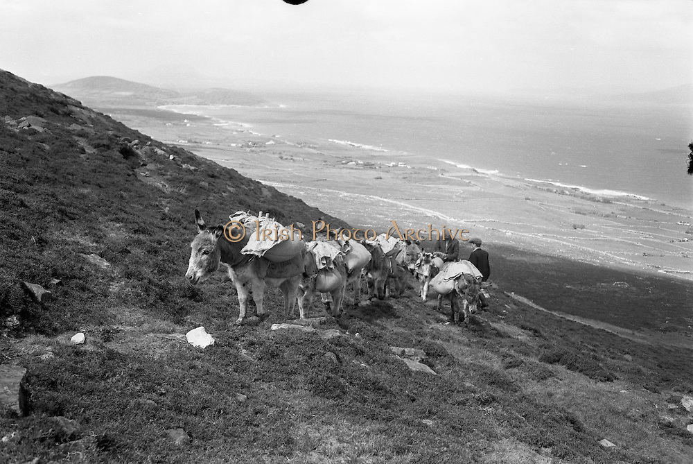 Farmers use donkeys to transport sand and cement up Croagh Patrick for work on the exterior of the Oratory. The donkeys on the crest of the lower slopes..15-17.05.1962