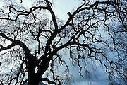 oak trees, California