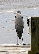 back view of Great Blue Heron standing on dock