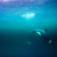 USA, Alaska, Underwater view of Orca (Killer) Whale (Orcinus orca) swimming in Frederick Sound on summer evening