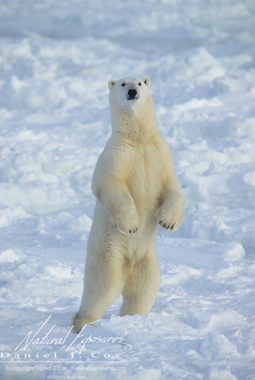 Polar Bear standing on its hind legs. Hudson Bay, Canada