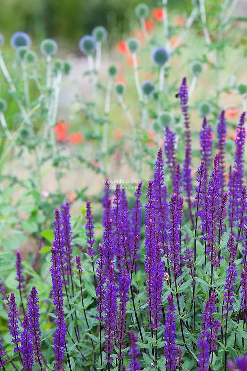 Salvia n. Caradonna in the drought tolerant garden