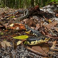 Malagasy Giant Hognose Snake (Leioheterodon madagascariensis), a burrowing species and Madagascar's largest colubrid.