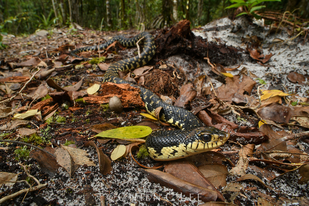Malagasy Giant Hognose Snake (Leioheterodon madagascariensis), a burrowing species and Madagascar's largest colubrid.