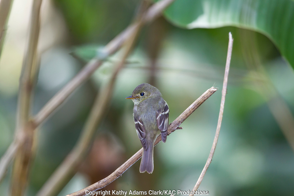 Least flycatcher, Empidonax minimus, Rancho Naturalista, near Turrialba, on the Caribbean slope, Costa Rica.