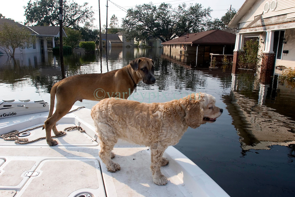 05 Sept  2005. New Orleans, Louisiana. Post hurricane Katrina.<br /> Rescued dogs relax on the front of a boat which saved them from the devastating floods in Uptown New Orleans.<br /> Photo; &copy;Charlie Varley/varleypix.com