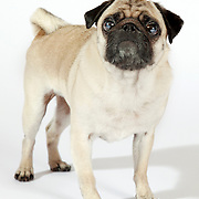 Pug dog standing on white background