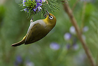 Cape White-Eye, De hoop Nature Reserve, Western Cape, South Africa
