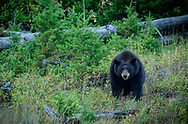 North America, Canada, Canadian, Alberta, Rocky Mountains, Waterton Lakes, National Park, UNESCO, World Heritage, Ursus Americanus, Black Bear,