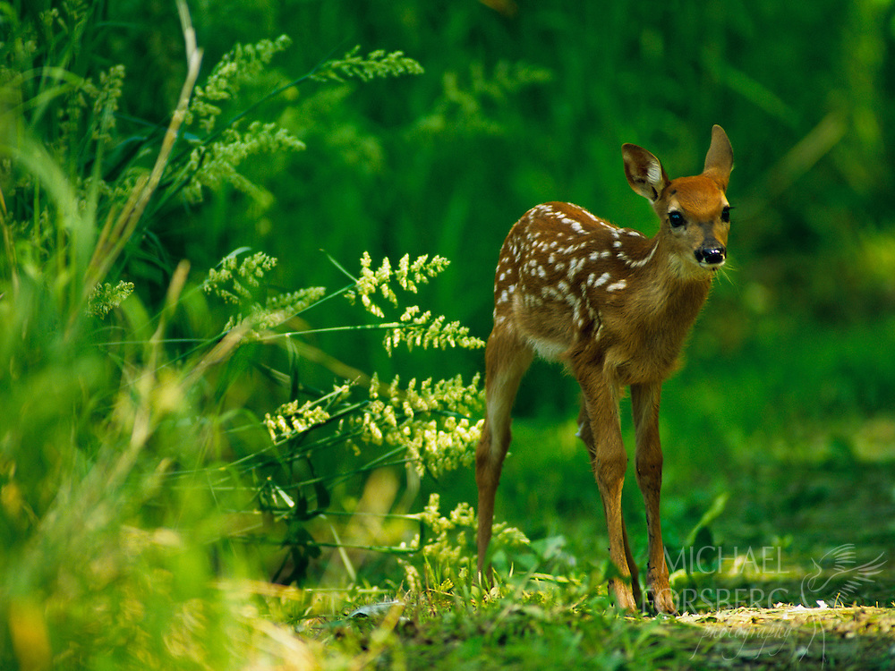 A fawn pauses in the forest.  Fontanelle Forest, Sarpy County, Nebraska.