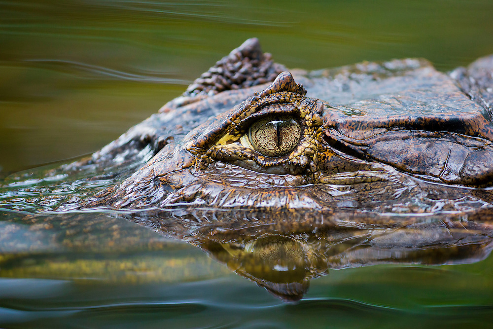 Close up view of a caiman, Osa Peninsula, Costa Rica.