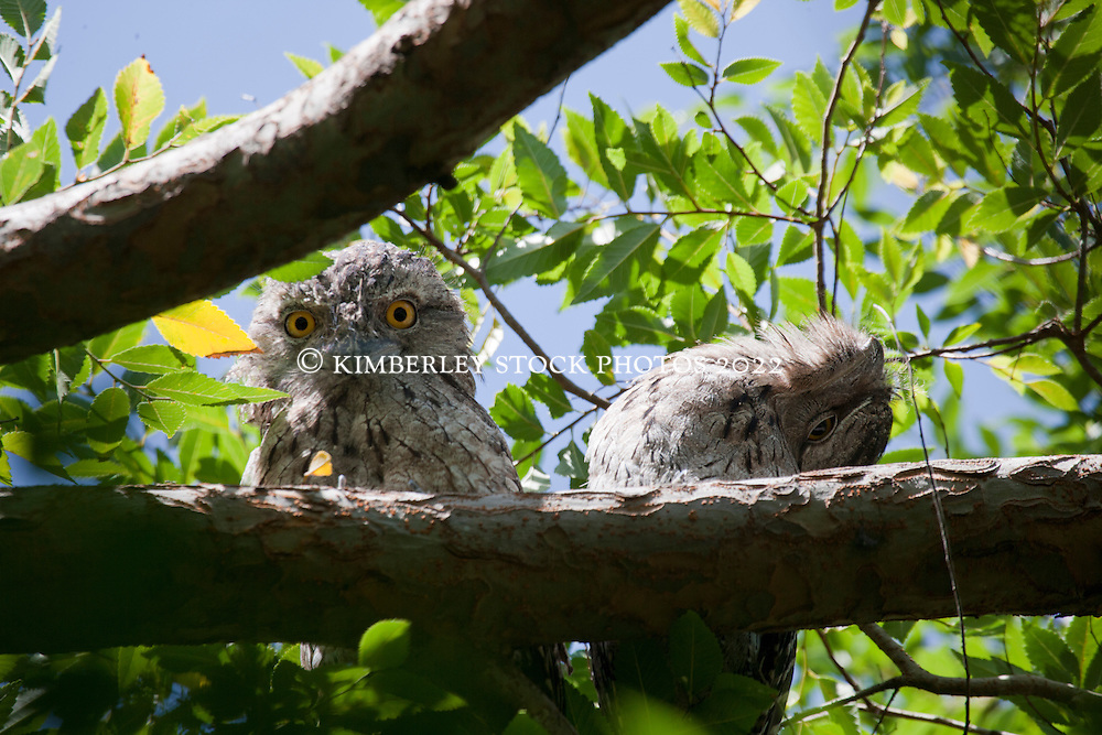 A pair of Tawny frogmouths (Podargus strigoides) look down from a daytime perch.  The birds are insectivorous and remain in pairs until one of the birds dies. Breeding is from August to December, in the same nest constructed of a messy pile of sticks.