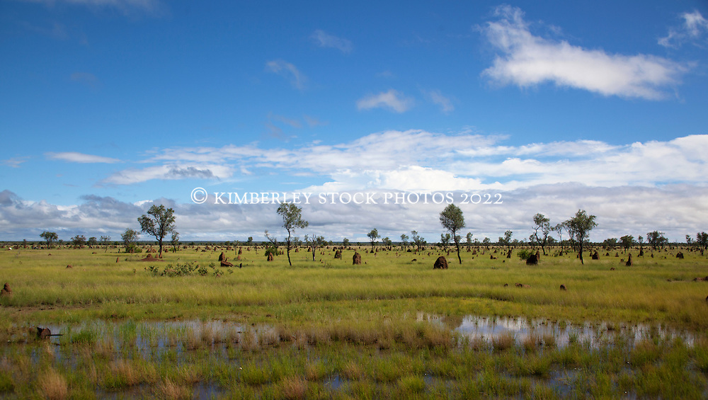 Termite mounds stand out amongst lush growth in wet season pasture on the main highway between Broome and Derby.