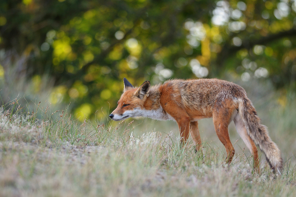 Red Fox. Amsterdamse waterleidingduinen, The Netherlands. July 2010.