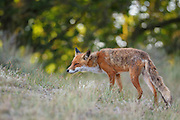 Red Fox. Amsterdamse waterleidingduinen, The Netherlands. July 2010.