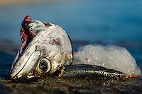 Discarded Mackrel heads on the harbors edge, Struisbaai, Western Cape, South Africa