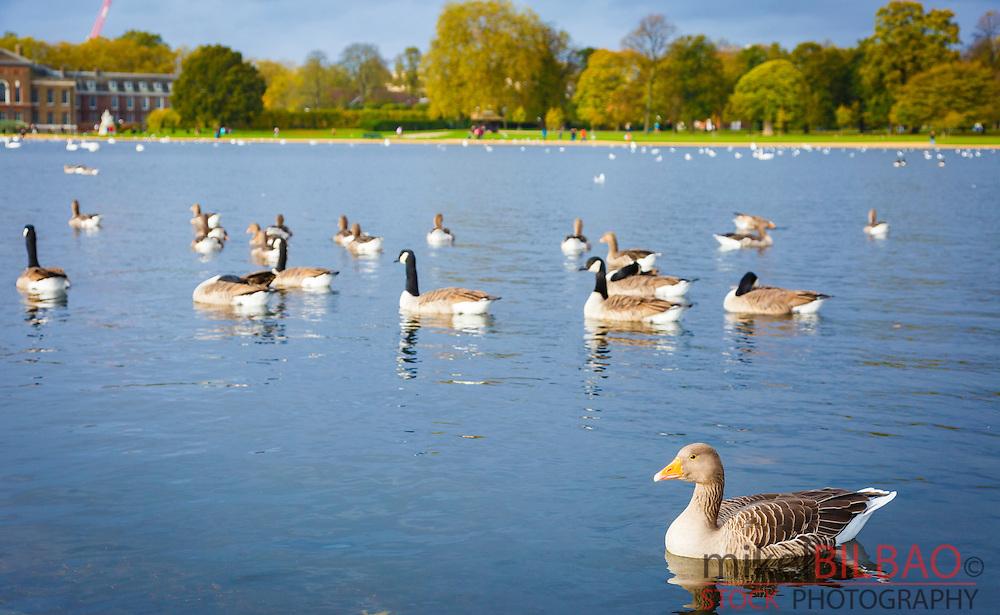 Water birds. Round Pond. Kensington Gardens. London, England, United kingdom, Europe.