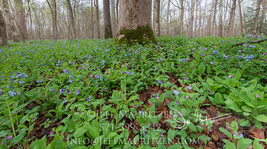 Bluebells blooming in a forest along the Potomac River.