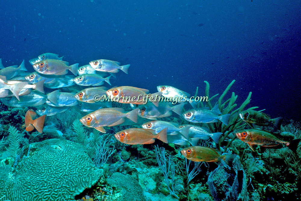 Bigeye drift in small groups over deep reefs in Tropical West Atlantic; picture taken Tobago.