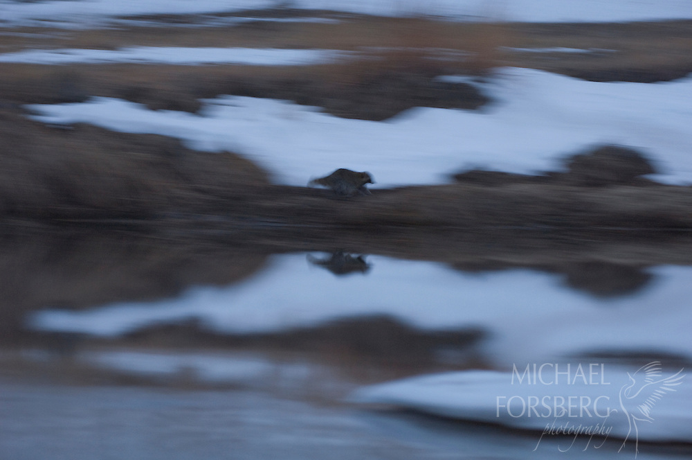 Nebraska Sandhills. Peterson Ranch...A Raccoon moves along the bank above Blue Creek at twilight to hunt for waterfowl...Blue Creek stays open even in the deepest cold of winter, fed by powerful underground springs from the Ogallala aquifer below.