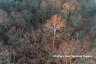 63877-01511 Aerial view of lone Sycamore tree in winter woods Marion Co. IL