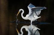 Great Egret – Fishing