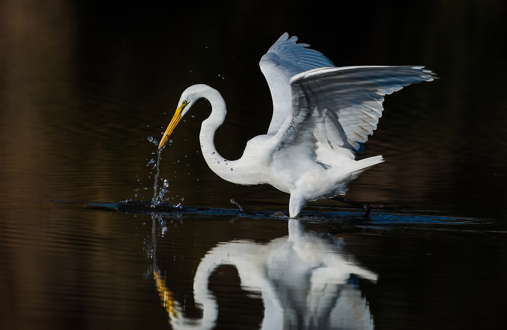 Great Egret – Fishing