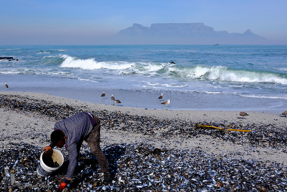 Table Mountain,Cape Town, South Africa. A man collects black stones from amongst  the mussel and other shells that litter the beach after heavy seas. A blanket of smog covers the base of Table Mountain in the early winter morning.