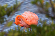 Flamingo at Floreana Island, Galapagos
