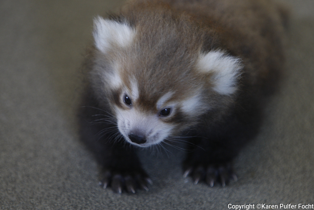 A baby Red Pandas are only found in small, isolated mountain territories above 4,000 feet in China, Nepal, India, Bhutan, and Burma.
