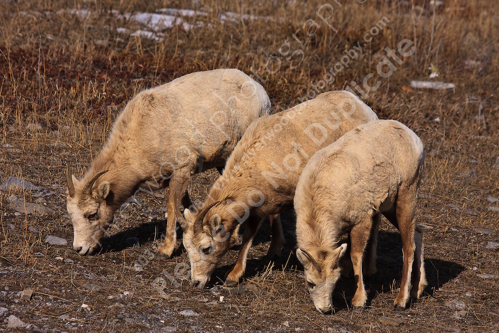 Rocky Mountain Bighorn Sheep near Exshaw, Alberta..©2009, Sean Phillips.http://www.Sean-Phillips.com