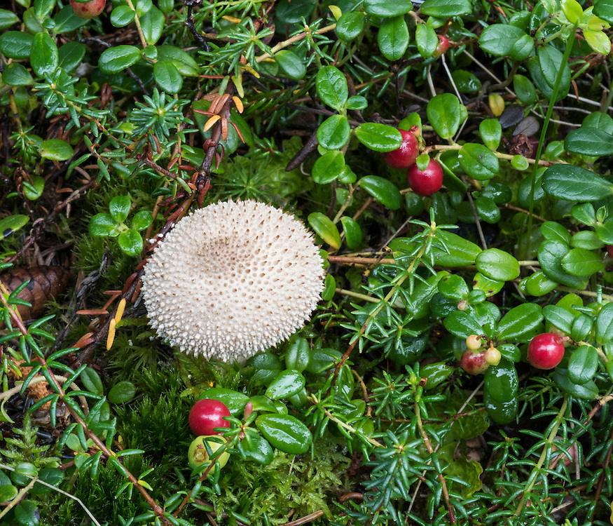 A puffball mushroom and several low-bush cranberry bunches with red fruit  on a moss background, Vaccinium vitas-idaea, also called mountain cranberry and lingonberry, Denali National Park, Alaska
