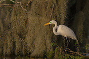 Great Egret Spanish Moss Background