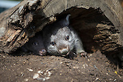 Common Wombat <br /> Vombatus ursinus<br /> Orphaned seven-month-old and six-month-old joeys (mother was hit by car) in burrow<br /> Bonorong Wildlife Sanctuary, Tasmania, Australia<br /> *Captive- rescued and in rehabilitation program