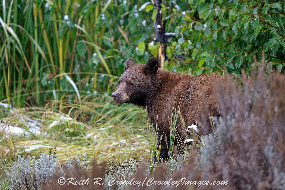 Cinnamon Phase Black Bear in Habitat Cinnamon phase black bear in habitat