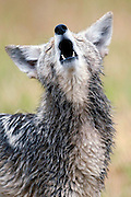 A coyote-canis latrans-howls in an enclosure at the Millville Predator Research Facility in Millville, Utah, June 11, 2009.  The 165-acre center, established in 1972, works with about 100 coyotes and is the only research facility of its kind that focuses solely on reducing conflicts between people and predators using non-lethal techniques including noise boxes, flashing lights and behavior modification. (AP Photo/Colin Braley)