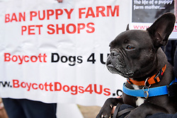 © Licensed to London News Pictures. 05/05/2017. London, UK. Jeff, the French bulldog, joins dog lovers gathered outside the Houses of Parliament to call for a ban on pet shops to stop selling puppies and puppy farming. Photo credit : Stephen Chung/LNP