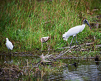 Snowy Egret, Wood Stork and immature White Ibis in Big Cypress Swamp. Image taken with a Nikon D700 camera and 28-300 mm Vr lens (ISO 200, 300 mm, f/5.6, 1/320 sec).