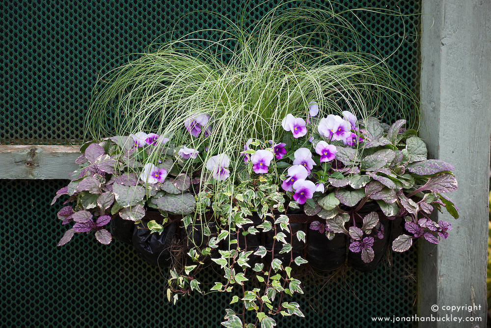 Window box with Carex comans 'Amazon Mist' with Ajuga reptans and winter flowering Viola