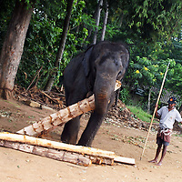 """PINNAWELA, OCTOBER-3 : a working elephant gathers food that he will carry to the elepahnt herd while his mahhout looks on in Pinnawala, October 3, 2005, Sri Lanka. The 35 mahouts of the Pinnawala orphanage are in charge of 75 elephants which is a heavy task. it takes about 6 months training to learn the """"elephant language"""" and years of expirience too become a good elephant keeper. Mahouts are well paid and therefore there's no shortage of applicants .PINNAWELA, OCTOBER-3 : an elephant greets a visitor   in Pinnawela, October 3, 2005, Sri Lanka.   .The Pinnawela orphanage was started in 1975 and initially designed to afford care and protection to the many baby elephants found in the jungle without their mothers. In most cases the mother either had died or been killed. .Animals are allowed to roam freely duringthe day and a herd structure allows to form. there are only a few elephant orphanges worldwide. At Pinnawela an attempt was made to simulate, in a limited way, the conditions in the wild. Currently the herd consists of 75 elephants under the surveillance of legendary  Mahout chief Sumanabanda."""