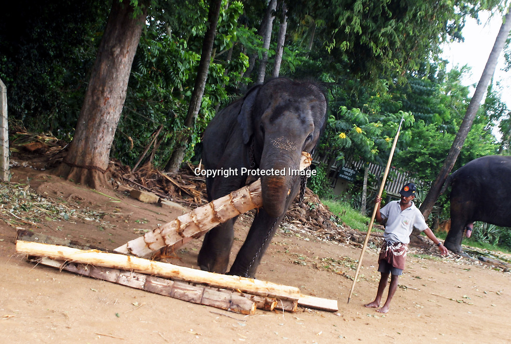 "PINNAWELA, OCTOBER-3 : a working elephant gathers food that he will carry to the elepahnt herd while his mahhout looks on in Pinnawala, October 3, 2005, Sri Lanka. The 35 mahouts of the Pinnawala orphanage are in charge of 75 elephants which is a heavy task. it takes about 6 months training to learn the ""elephant language"" and years of expirience too become a good elephant keeper. Mahouts are well paid and therefore there's no shortage of applicants .PINNAWELA, OCTOBER-3 : an elephant greets a visitor   in Pinnawela, October 3, 2005, Sri Lanka.   .The Pinnawela orphanage was started in 1975 and initially designed to afford care and protection to the many baby elephants found in the jungle without their mothers. In most cases the mother either had died or been killed. .Animals are allowed to roam freely duringthe day and a herd structure allows to form. there are only a few elephant orphanges worldwide. At Pinnawela an attempt was made to simulate, in a limited way, the conditions in the wild. Currently the herd consists of 75 elephants under the surveillance of legendary  Mahout chief Sumanabanda."