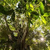 View upwards towards the rainforest canopy near Casual off of the Marañon River. Pacaya Samiria National Reserve, Upper Amazon, Peru.