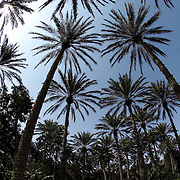 Oman, Hawiyah. January/26/2008...Palm trees soar overhead in an oasis plantation in the village of Hawiyah.