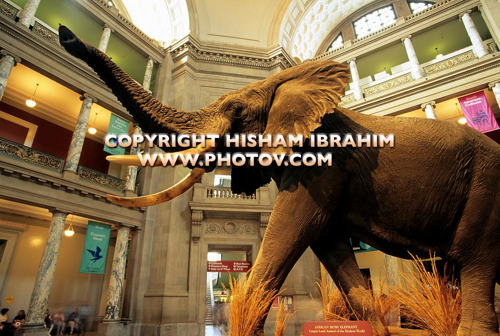 Natural History Museum, giant elephant display, Washington DC, USA.