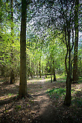 Nature trail in woodland scene of silver birch trees, Betula pendula at Bruern Wood in The Cotswolds, Oxfordshire, UK